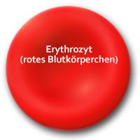 Erythrozyt (rotes Blutkörperchen)