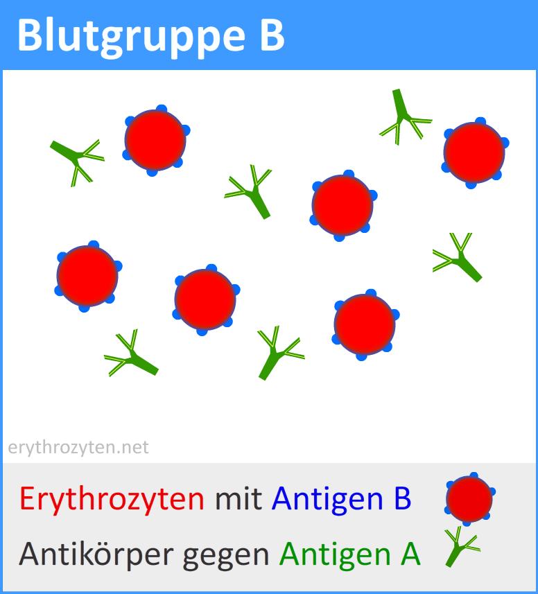 Blutgruppe B Positiv Häufigkeit